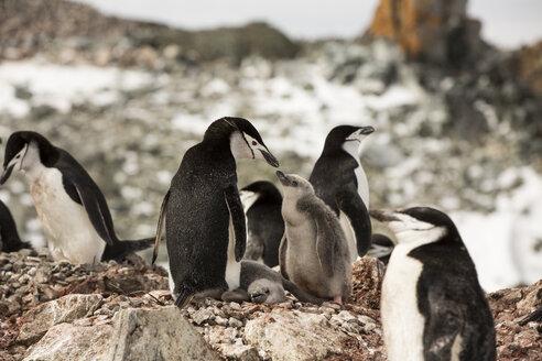 Penguins standing on rocks during winter - CAVF55036
