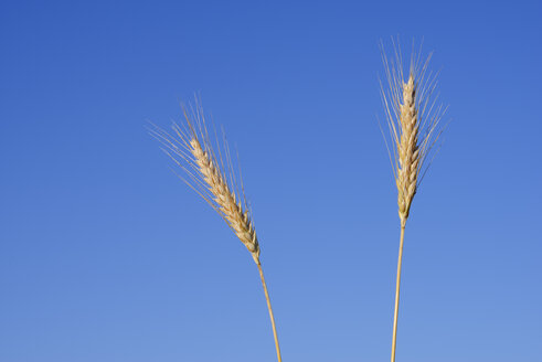Two ears of rye against clear blue sky in summer, Bavaria, Germany - RUEF02023
