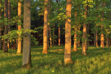 Early morning sun in forest on old oak trees. Bavaria, Germany - RUEF02050