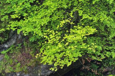 Green leaves in spring,  Bavaria, Germany - RUEF02062