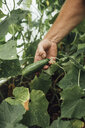 Mature man, gardener in greenhouse, hand holding cucumber - VPIF01106