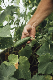 Mature man, gardener in greenhouse, hand holding cucumber - VPIF01106