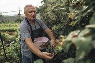 Gardener harvesting berries in garden - VPIF01118