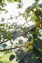 Fruit tree against the sun - VPIF01124