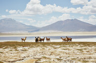 Chile, Salar del Carmen, alpacas at salt lake shore in front of Andes - SSCF00027