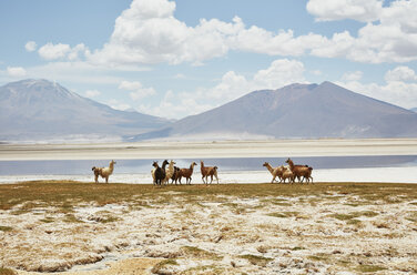 Chile, Salar del Carmen, alpacas at salt lake shore in front of Andes - SSCF00027