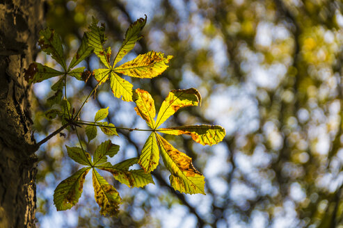 Chestnut leaf in autumn - FRF00780