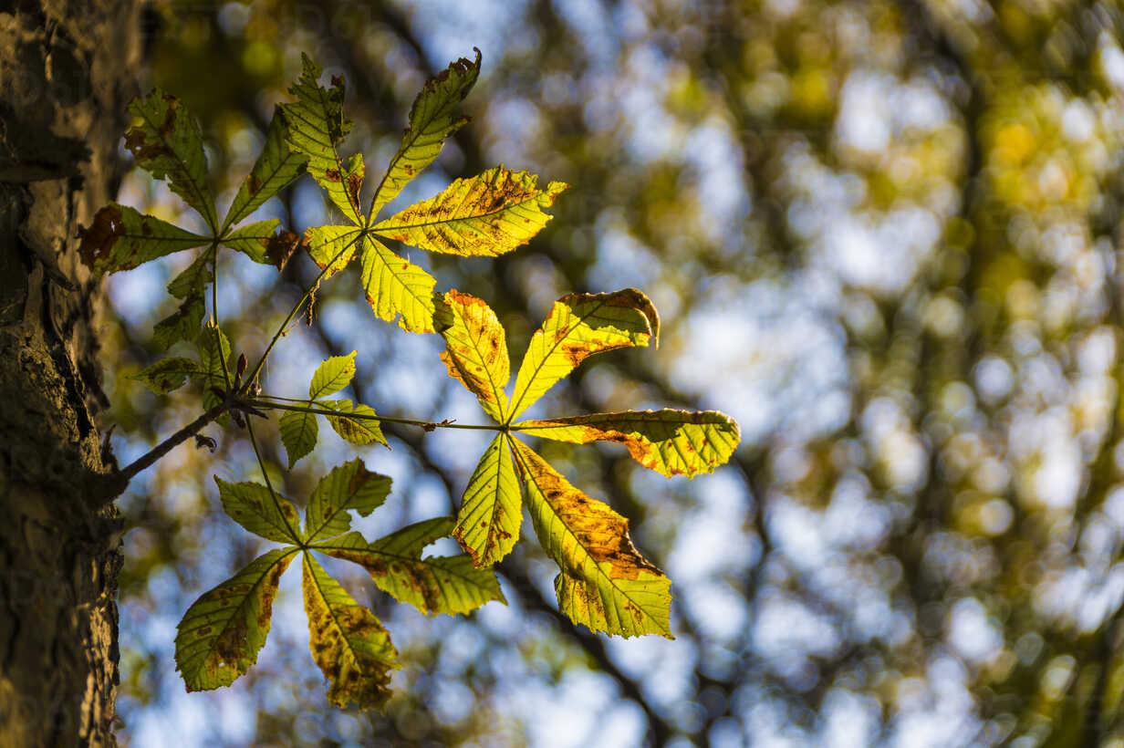 Chestnut leaf in autumn - FRF00780 - Frank Röder/Westend61