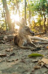 Australia, Queensland, Mackay, Cape Hillsborough National Park, kangaroo resting in forest at sunrise - GEMF02541