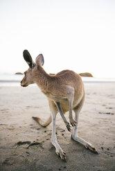Australia, Queensland, Mackay, Cape Hillsborough National Park, kangaroo on the beach - GEMF02544