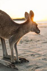 Australia, Queensland, Mackay, Cape Hillsborough National Park, kangaroo on the beach at sunrise - GEMF02547