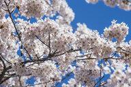 Hokkaido, Hakodate, Hakodate park, Cherry blossoms, close up - RUNF00222