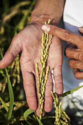 High angle close up of farmer holding rice plant in his palm. - MINF09647