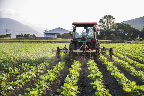 Japanese farmer driving red tractor through a field of soy bean plants. - MINF09650