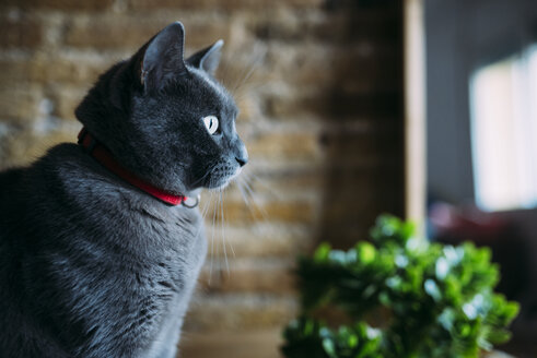 Russian blue cat looking out the window - GEMF02561