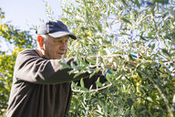 Senior man picking olives from tree - JRFF02129