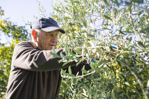 Senior man picking olives from tree - JRFF02129