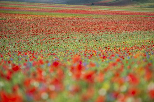 Italy, Umbria, Sibillini National Park, Blooming flowers on Piano Grande di Castelluccio di Norcia - LOMF00758