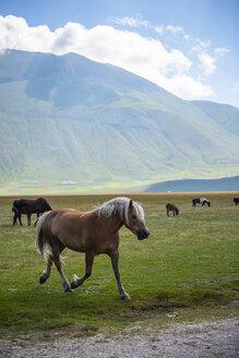 Italy, Umbria, Sibillini National Park, Horses on plateau Piano Grande di Castelluccio di Norcia - LOMF00761
