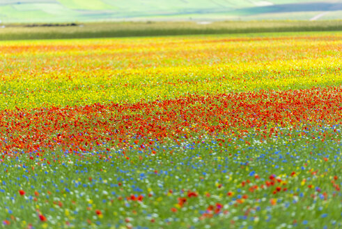 Italy, Umbria, Sibillini National Park, Blooming flowers and lentils on Piano Grande di Castelluccio di Norcia - LOMF00764