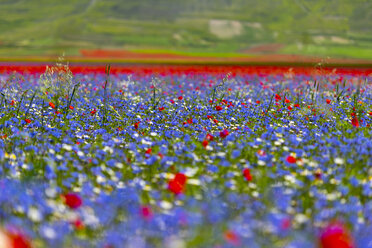 Italy, Umbria, Sibillini National Park, Blooming flowers on Piano Grande di Castelluccio di Norcia - LOMF00770