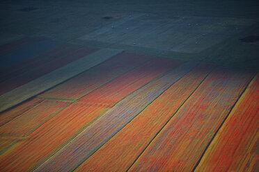 Italy, Umbria, Sibillini National Park, Blooming lentils on Piano Grande di Castelluccio di Norcia - LOMF00779