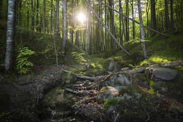 Germany, Mecklenburg-Western Pomerania, Ruegen, Jasmund National Park, Beech forest - MAMF00250