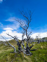 Chile, Patagonia, Torres del Paine National Park, dead trees - AMF06264