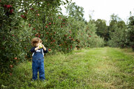 Baby boy holding apple looking away while standing on grassy field at orchard - CAVF56218