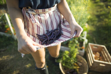 Midsection of woman holding beans in textile while standing at community garden - CAVF56239