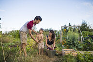 Shirtless son holding cereal plants while standing between mother and father at community garden - CAVF56251