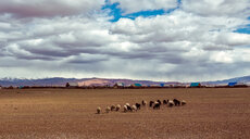 Sheep grazing on a field - INGF07813