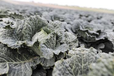 Savoy cabbage on a field - KMKF00666