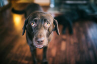 Portrait of a brown dog - INGF07851