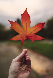 Man's hand holding red autumn leaf, close-up - RAEF02224