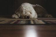 Portrait of dog lying on carpet at home - CAVF56825