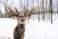 Portrait of deer standing on snow covered field in forest - CAVF57074