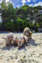 New Caledonia, Lifou, pigs at the beach - THAF02363