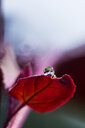 Close-up shot of a water droplet on a red rose - INGF08121