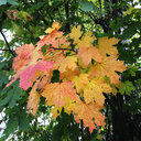 Maple leaves in tree - WWF04535