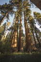 USA, California, Yosemite National Park, Mariposa, sequoias - KKAF03041
