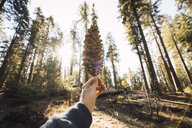 USA, California, Yosemite National Park, Mariposa, hand holding cone in sequoia forest - KKAF03047