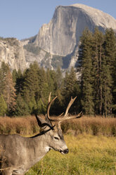 USA, California, Yosemite National Park, deer on a field with El Capitan in background - KKAF03062