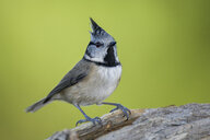 Portrait of crested tit - MJOF01617