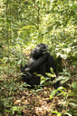 Chimpanzee looking away while relaxing on field amidst plants in forest - CAVF58214