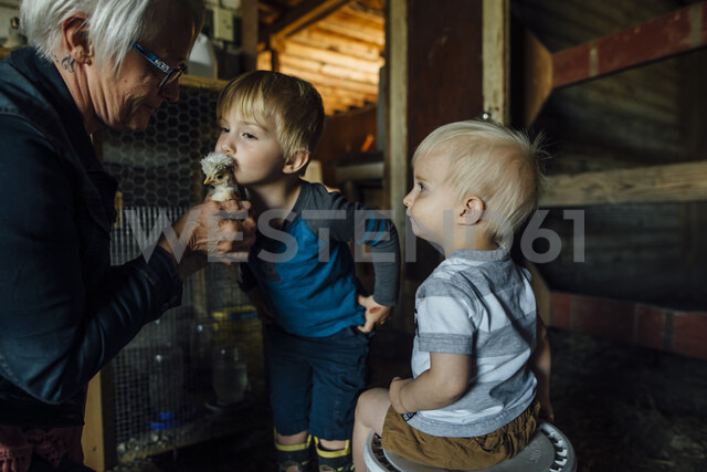 Side view of grandmother showing baby chicken to grandsons in barn - CAVF58489
