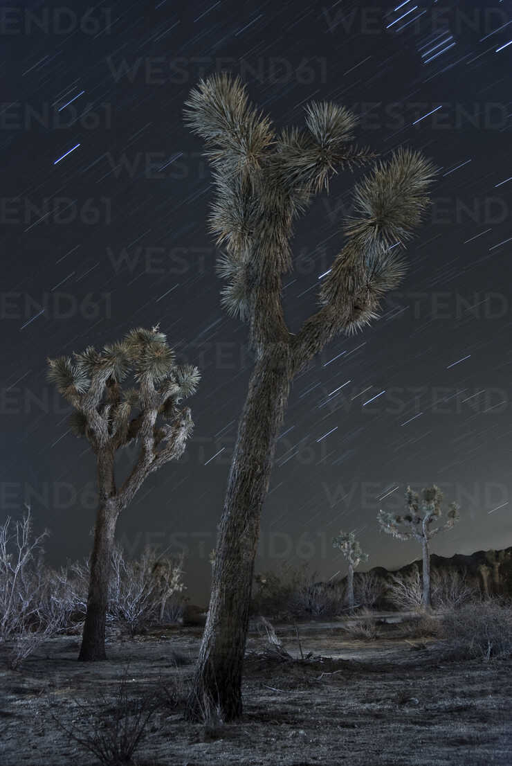 Low angle majestic view of Joshua Trees against star trails at national park - CAVF58633 - Cavan Images/Westend61