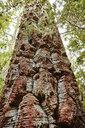 Chile, Los Sauces, Nahuelbuta National Park, Alercen tree - SSCF00132