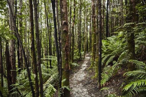 Chile, Chaiten, Parque Pumalin, lush path through the forest - SSCF00213