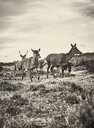 Chile, Tierra del Fuego, Porvenir, deer running in grass - SSCF00267
